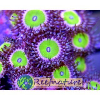 Palythoa Candy Apple Pink 1 Polyp
