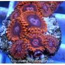 Ultra Zoanthus Valentine´s Day Massacre 1 Polyp
