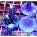 Acropora Gomezi Blue - Green tips