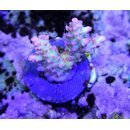 Acropora microclados Strawberry Shortcake (Australien)