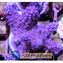 Acropora sp Lila Medium ab 4cm