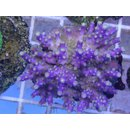 Acropora Secale - Lila Small bis 4cm
